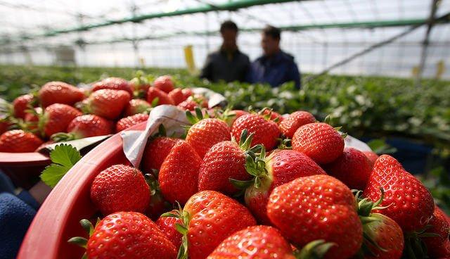 Strawberry tours